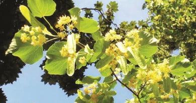 Teiul, copacul albinelor